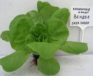 Немного о культуре  салата