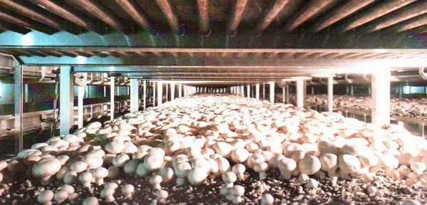 Основа развития грибоводства в России