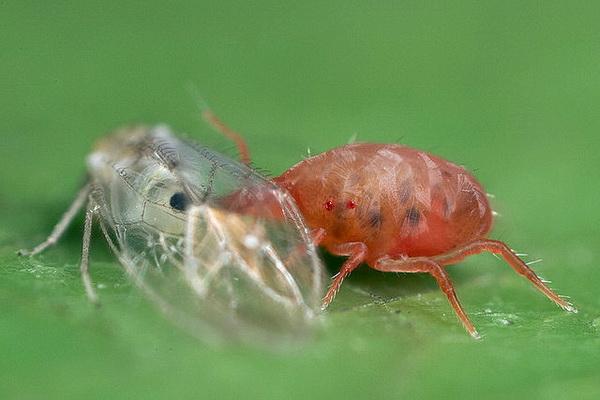 Перспективы подавления резистентных популяций паутинного клеща