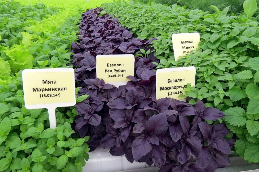 Коллекция зеленных культур и салата на семинаре «Салатного клуба» (2014)