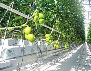 Технология выращивания томатов на различных субстратах