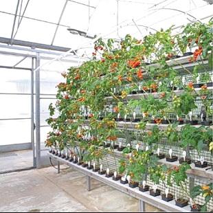 Результаты селекции сортов и гибридов томата