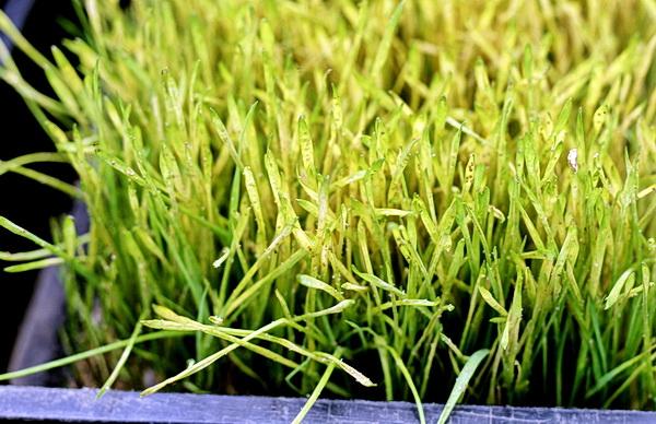 Приемы агротехники и биозащиты на салатных и рассадных линиях