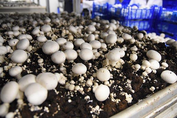 культивируемые грибы