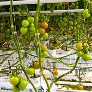 В Белогорском собрали 200 тонн урожая