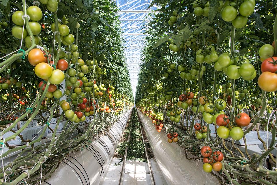 Валовый сбор тепличных овощей на сегодняшний день