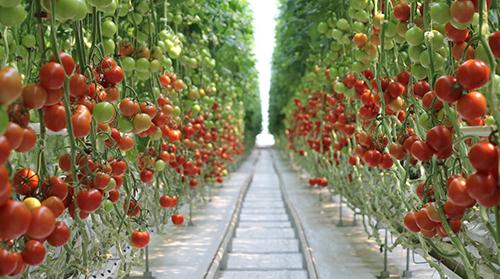 Валовый сбор тепличных овощей на 25.11.2020